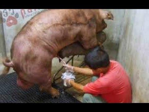 Cách lấy Tinh trùng Lợn