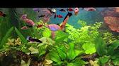 Промысловый гурами или гигантский краснохвостый гурами (osphronemus laticlavius) в размере 25-28см. Рыбки прошли карантин и акклиматизацию. Купить гигантский краснохвостый гурами можно в нашем аквариумном комплексе аквариф-центр ежедневно с 11-00 до 19-00.