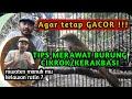 Tips Merawat Burung Cikrok Kerak Basi Agar Tetap Gacor  Mp3 - Mp4 Download
