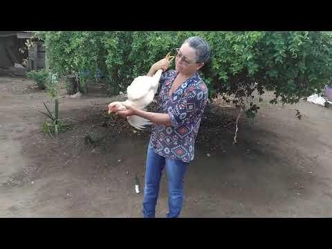 Matando frango caipira