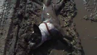 French bulldog and mud (Prasopes)
