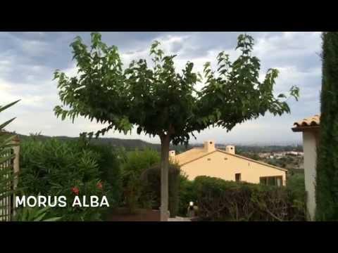 morus alba garden center online costa brava girona. Black Bedroom Furniture Sets. Home Design Ideas