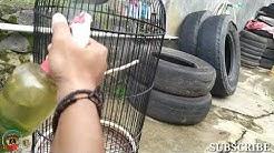 CARA MENJINAKAN BABY LOVE BIRD GIRAS AKUR KAPTEN
