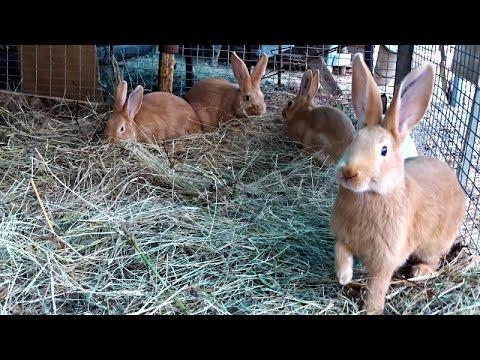 Объявление раздела животные. Кролики мясных пород купить, продать или отдать в пензенской области на avito.