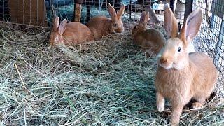 Мясные кролики —  отсаженные молодые самцы (2- 2,5 мес) в вольере