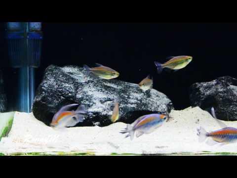 Congo Tetras eating Tropical Krill Gran