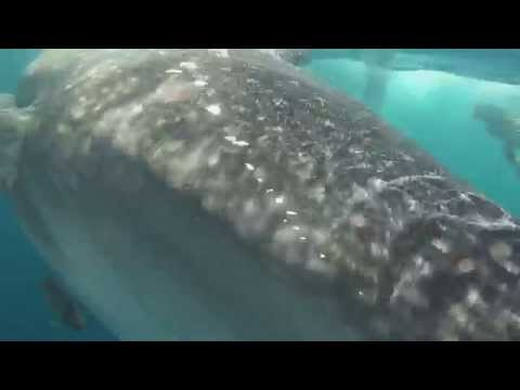 Tubarão-baleia em Cancun