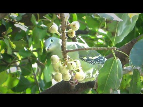 Suara Burung Punai Di Alam (Green Pigeon)