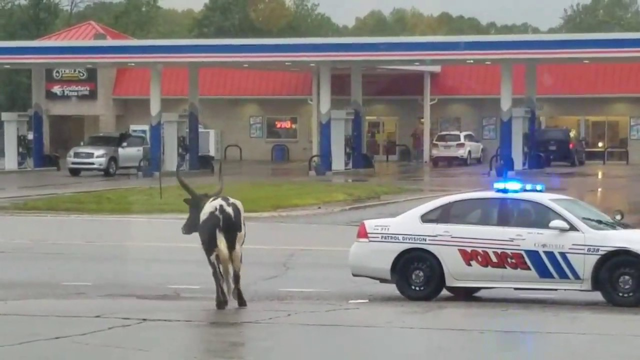 Rogue Bull Involved in Low Speed Chase With Police in Cookeville, Tennessee