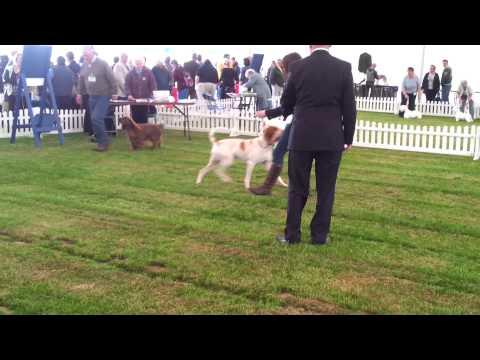 Border Union 2013 - AVNSC Gundog (Bracco Italiano) in Post Graduate Dog