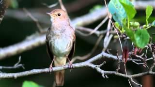 Video burung nightingale bisa menirukan 1001 suara download MP3, 3GP, MP4, WEBM, AVI, FLV Juni 2018