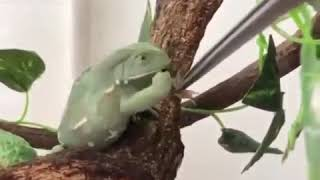 NOWDAYS FROGS ARE ALSO FASTING (funny video)