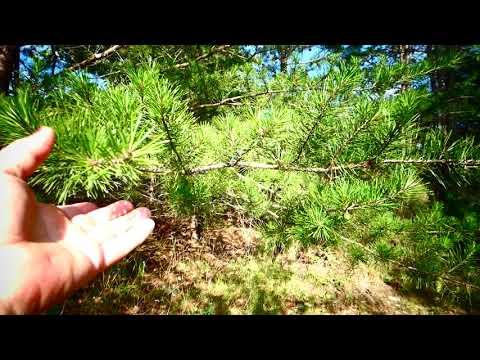Элексир здоровья - сосновые зеленые шишки.  Сосновый сироп.