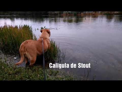 """""""Cali"""" 19months old DDB aka French Mastiff"""