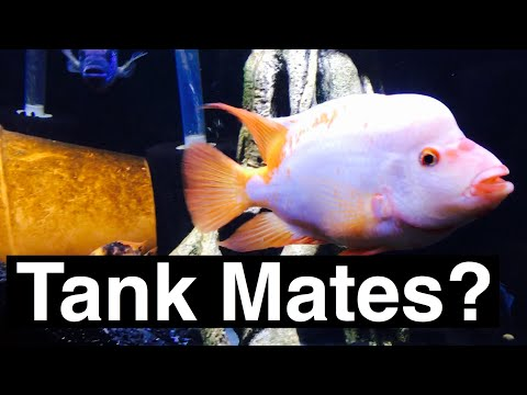 Red Devil Tank Mates (Midas) - Other Fish? Cichlids?
