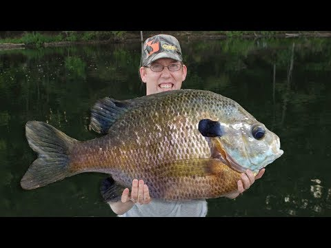 50 Lb Bluegill Fishing Challenge!! Catching 50 Lbs Of Bluegill With Best Bluegill Bait