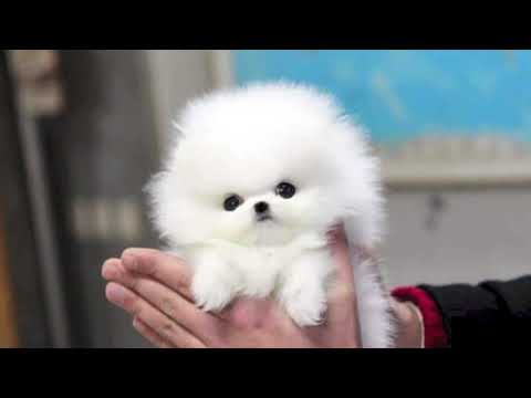 10 Interesting Facts About Maltese Dogs