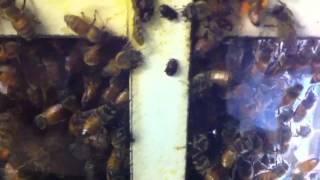 Bees Corralling Hive Beetles