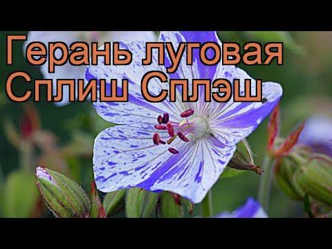Герань луговая Сплиш Сплэш (geranium pratense) 🌿 обзор: как сажать, рассада герани Сплиш Сплэш