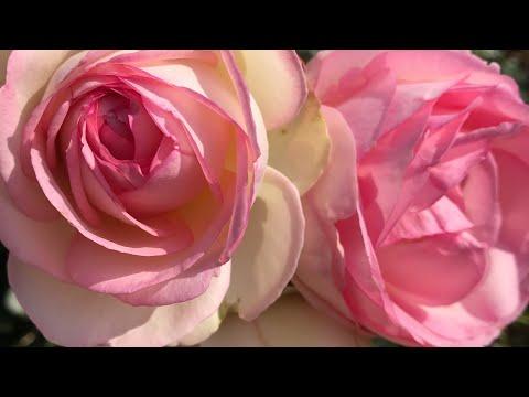 Розы в саду, осень, что делать с розами?