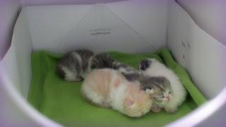 Four Sweet Rolls: 2-week-old Exotic Shorthair Kittens