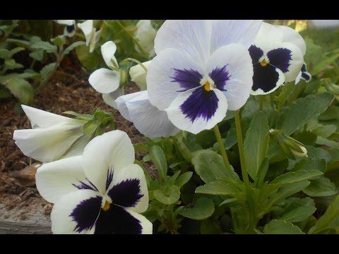 Анютины глазки:  Выращивание и уход.  Обильное цветение в год посадки
