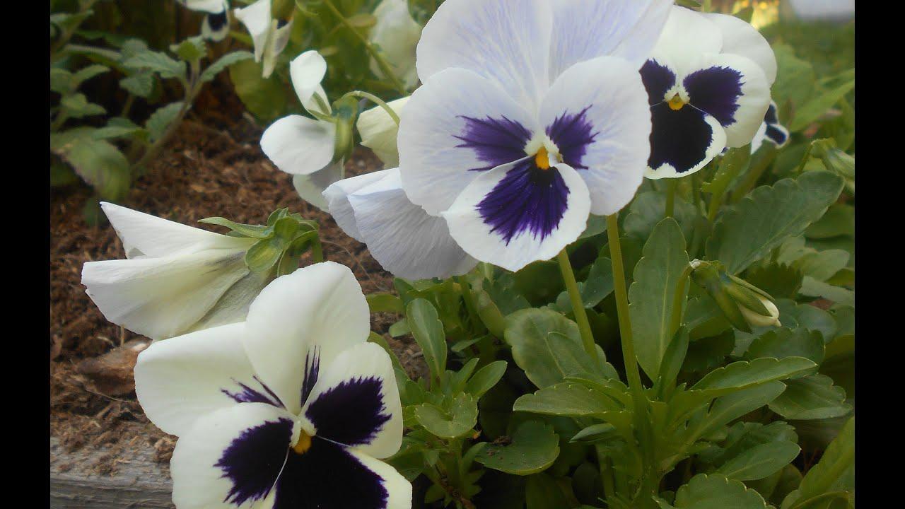 Анютины глазки — выращивание из семян с фото и видео
