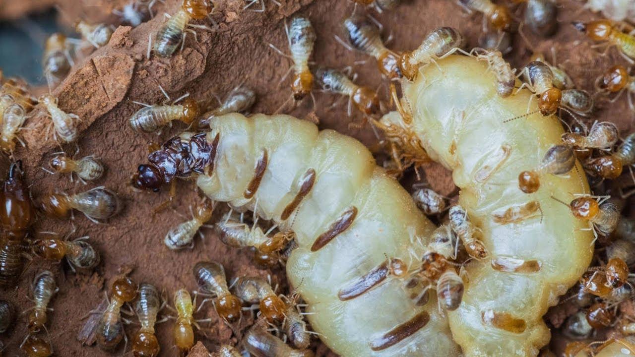 Termite Queen lays millions of eggs