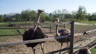 Страусы на страусиной ферме в Закарпатье, рассказ хозяйки о страусах(Страусы, которые разводятся на страусиной ферме в Закарпатье, а точнее, в городе Хуст. На эту страусиную..., 2015-02-18T16:38:04.000Z)
