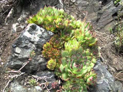 """hauswurz-dachwurz ( serpervivum tectorum)""""- eine slideshow von, Garten und erstellen"""