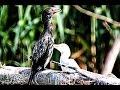 Cormorant And Egret