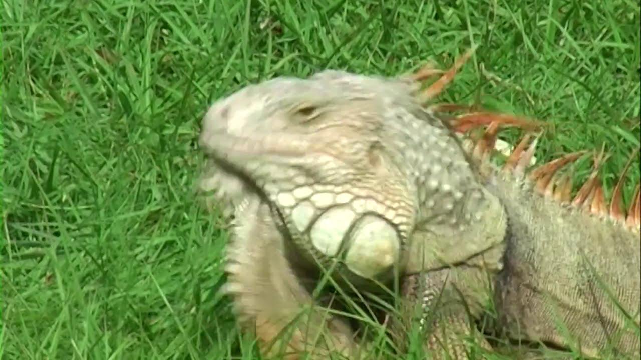 Download Majorca's Shark - The TRUTH