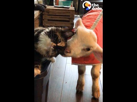 Rescue Cat Helps Sick Lamb Get Better