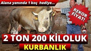 2 Ton 200 Kiloluk Kurbanlık !