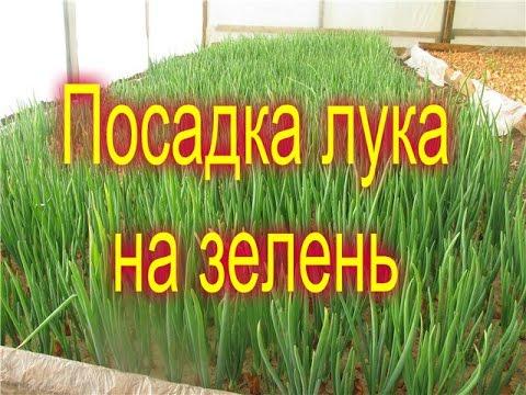 КАК САЖАТЬ ЛУК НА ПЕРО/посадка лука на зелень в теплицу. | выращивать | теплицу | теплица | посадка | зеленый | выгонка | зелень | поса | перо | лука