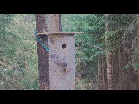 Liito-oravan poikanen putoaa