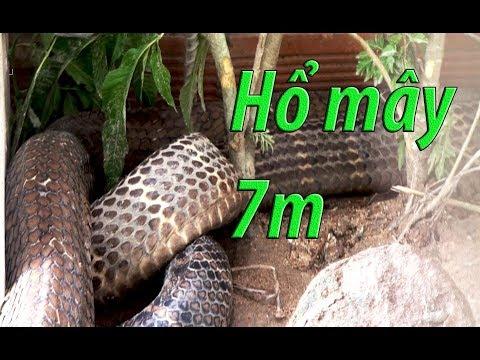 Hành trình bắt cặp rắn hổ mây 60kg - nhân chứng kể lại