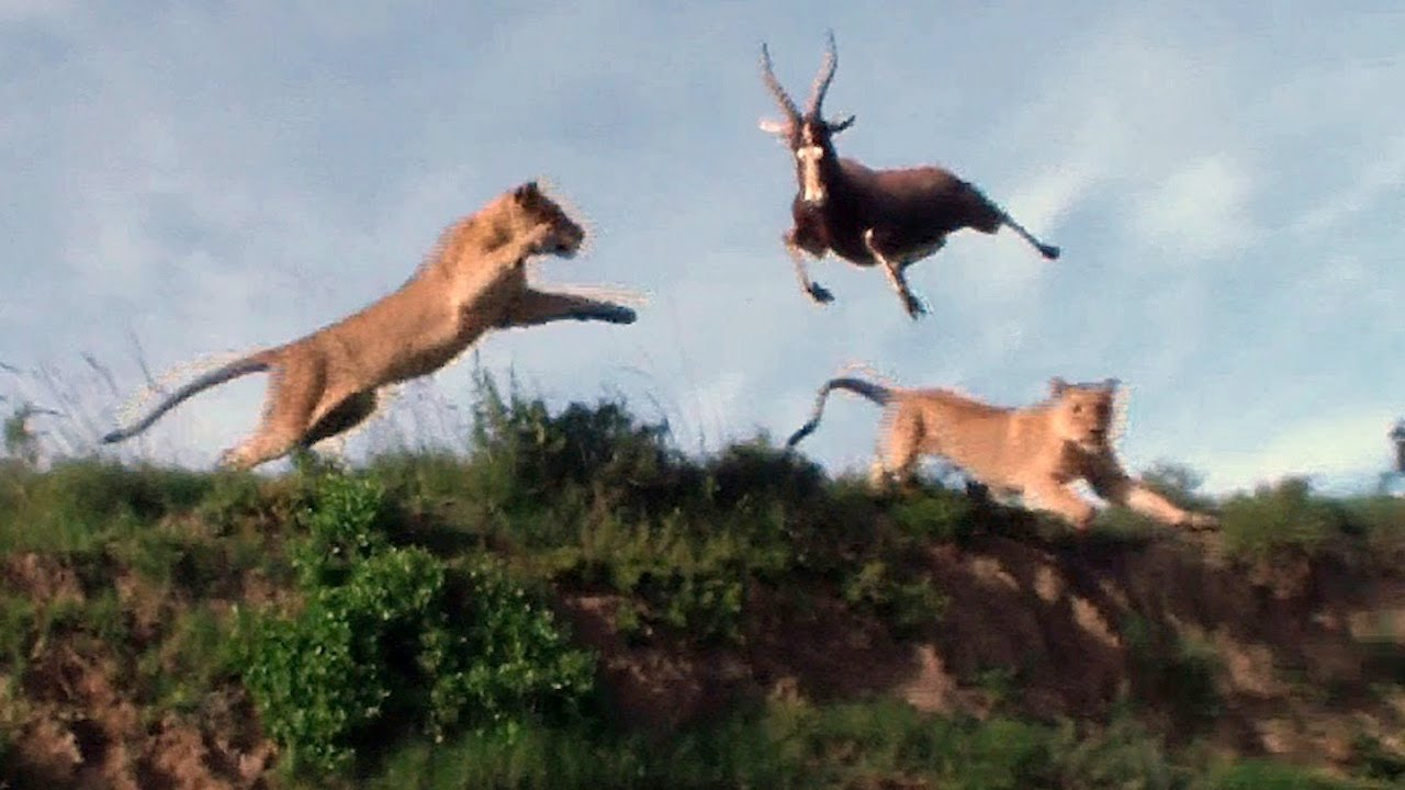 Animated Running Horse Wallpaper Leaping Lion Catches Antelope In Mid Air Attack Youtube