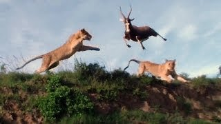 Repeat youtube video Leaping Lion Catches Antelope In Mid-Air Attack