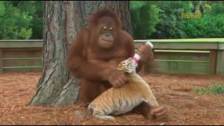 Un urangutan a adoptat cativa tigrisori :D