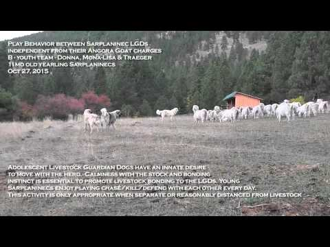 Sarplaninec Livestock Guardian Dogs play near Angora goats with appropriate restraint