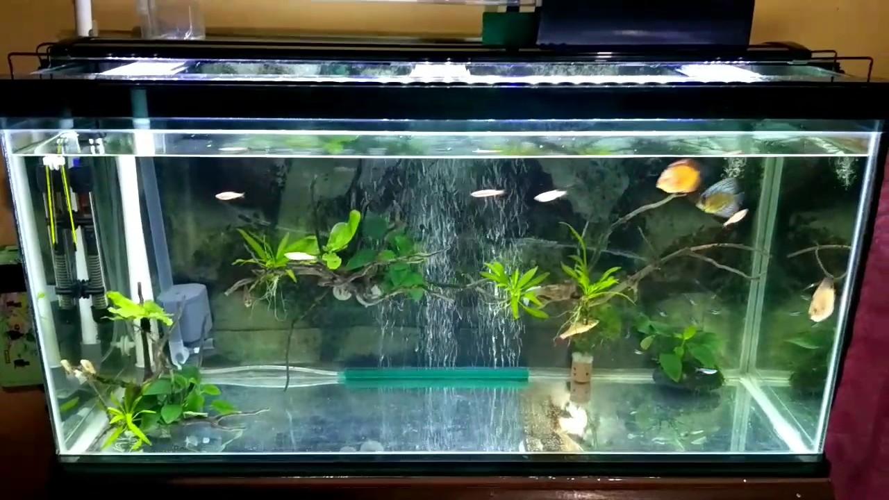 Aquarium tetap bening selama1 bulan lebih tanpa kuras