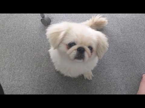【可愛い犬】白ペキニーズのごきげんな一日