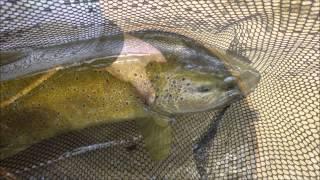 La bienne 2015; pêche mouche; No-Kill