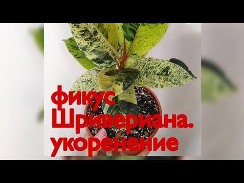 Укоренение фикуса Шривериана//Подготовка черенка//От среза до первого корешка