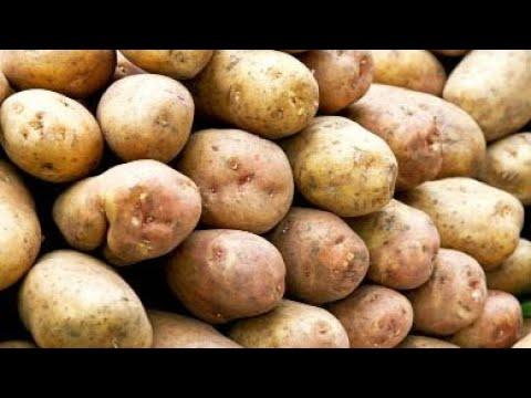 Новый сорт картофеля для чипсов вывели в Беларуси