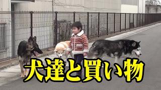 シベリアンハスキー犬クッキー君 ジャーマンシェパード犬マック君 秋田...