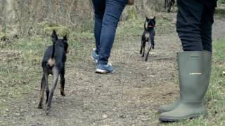 Lasagesse English Toy Terriers