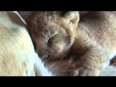 Lioness shows trust in man with her newborn cubs  VIDEO