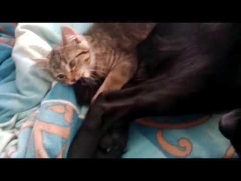 Hund und Katze - Dog and Cat - Best Friends!! (Flat Coated Retriever)